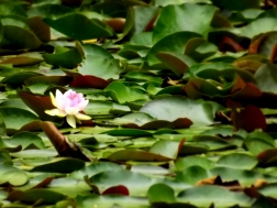 A small park in the Melbourne CBD had a pond full of lily pads, with just the one lily amongst all that green!